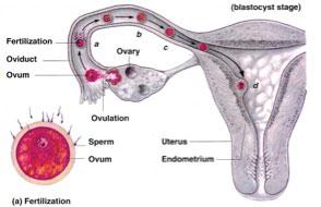 graphic-conceiving-uterus